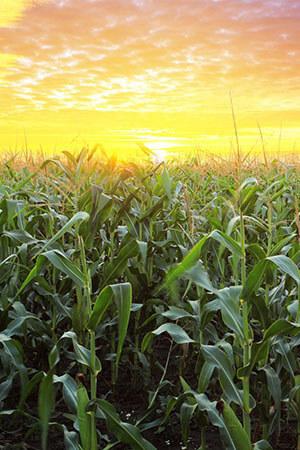 cornfield-sunset-portrait