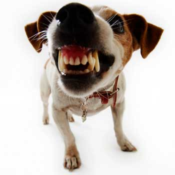 Photo of a dog baring its fangs