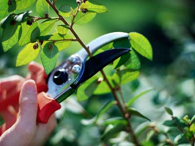 Photo of pruning shears cutting a branch