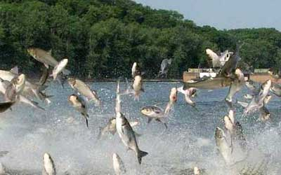 """The encore presentation of """"The Trouble with Asian Carp"""" will discuss the environmental and safety concerns the fish are raising in Illinois."""