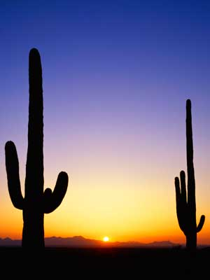 Photo of two Arizona cactus plants silhouetted by the sunset.