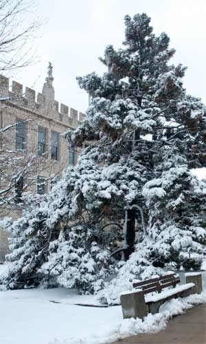 Photo of a snow-covered evergreen outside Altgeld Hall