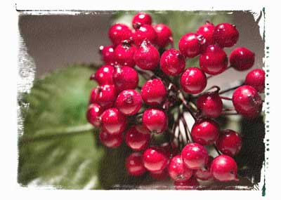 A photo of a sprig of holly berries