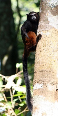 A saddle-back tamarin.
