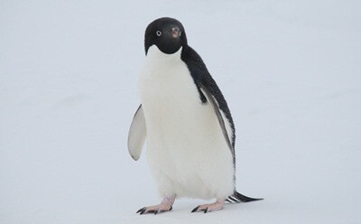 penguin-feature