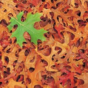 Photo of a green oak leaf amid autumn leaves