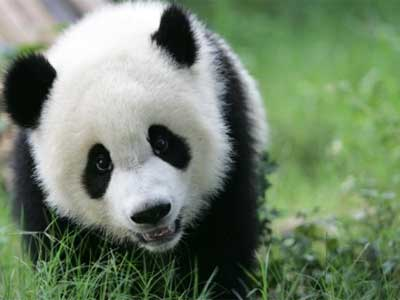 Photo of a giant panda bear