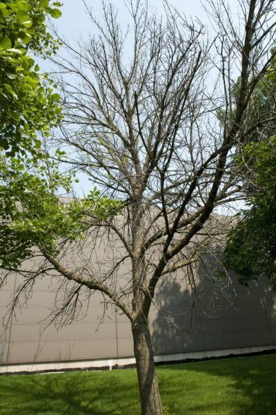 13-ash-trees-7-1-GT-05 copy
