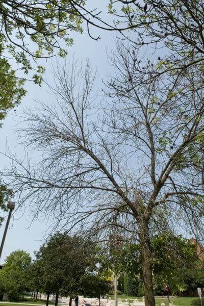 13-ash-trees-7-1-GT-40 copy