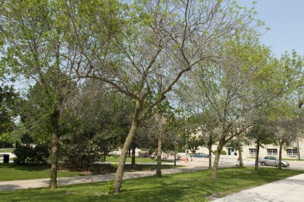 13-ash-trees-7-1-GT-51 copy