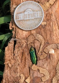 Close-up showing the Emerald Ash Borer and the tunnels it makes in infected trees