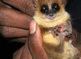A mouse lemur trapped to collect data on population density and health.