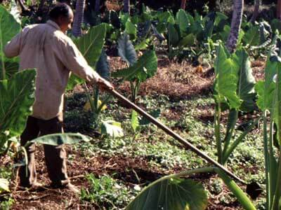 A Tongan farmer in a field of taro, a root vegetable.