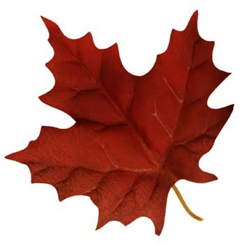 Photo of a maple leaf in autumn