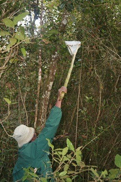 No easy task: collecting urine samples from lemurs.