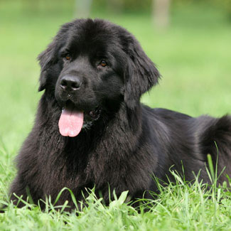 Photo of a Newfoundland