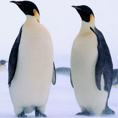 A photo of penguins