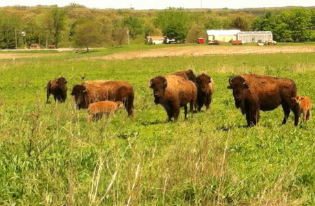 The wild bison herd at Nachusa Grasslands is the first herd reintroduced for habitat restoration purposes east of the Mississippi River.