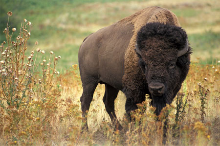 Photo of a bison