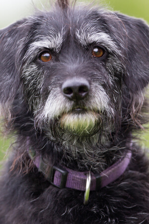 gray-hair-dog-portrait